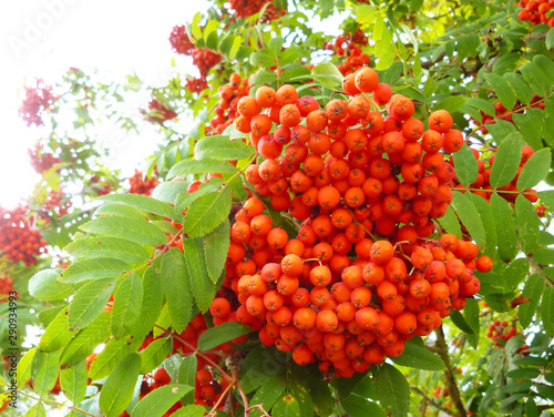 Photo Red berries on mountain ash tree