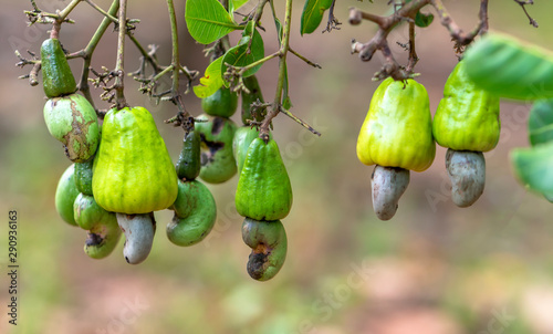 Fényképezés  Cashew nut fruit or Anacardium occidentale on tree is about to ripen during the harvest