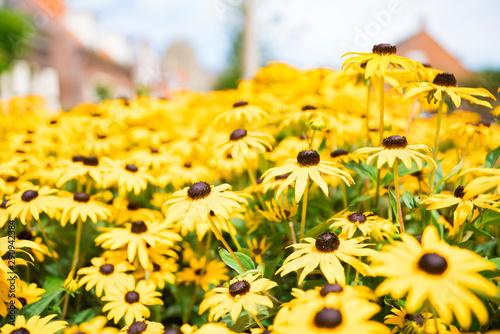 Fotografering  Big black-eyed Susan Rudbeckia hirta flowers  in field-2
