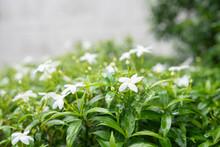 Gardenia Jasminoides In Garden...