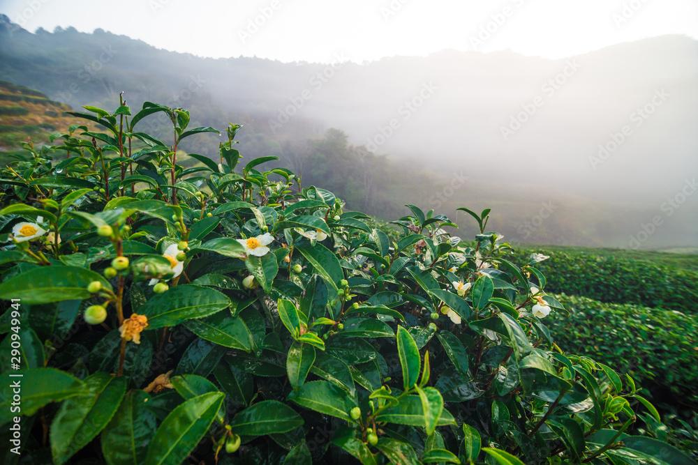 Fototapety, obrazy: Green tea plantation field morning sunrise with fog