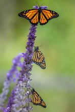 Monarch Butterfly Trio, Danaus...