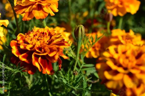 Marigolds saffron orange and red in the bouquet. Canvas Print