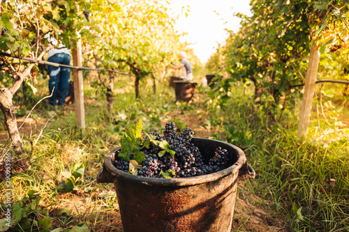 PUGLIA / ITALY - SEPTEMBER 2019: Seasonal harvesting of Primitivo grapes in the vineyard