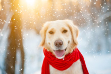 Closeup Portrait Of White Retriever Dog In Winter Background. White Golden Retriever Puppy In A Red Scarf Looking On Blowing Snowfall. Sunny Winter Day