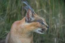A Close Facial View Of A Caracal, A Medium-sized Wild Cat Native To Africa, The Middle East, Central Asia, And India. Furry Feline Animal With Closed Eyes In The Midst Of Green Foliage.