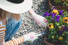 Woman, Colorful Pansies, Summer, Garden. Woman In Light Beige Hat Work With Flowers.