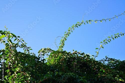 Prolific vine of the green baby kiwi fruit actinidia arguta Wallpaper Mural