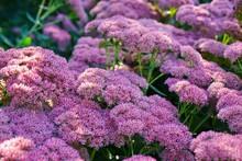 """Pink Blooms Of Sedum """"autumn J..."""