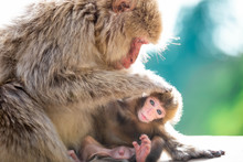 Close Up Of A Female Japanese Macaque Grooming Her Suckling Baby Against A Green Bokeh Background