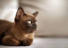 Cute European Chocolate Burmese Kitten Cat