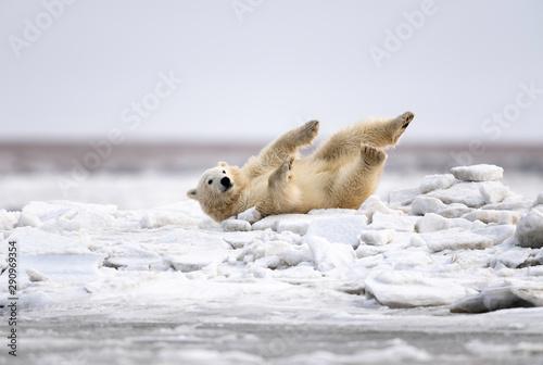 Recess Fitting Polar bear Polar Bear Cub, Kaktovik, Alaska, USA