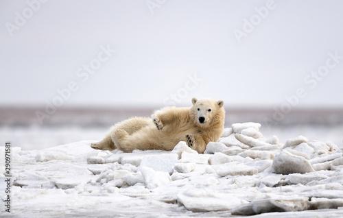 Wall Murals Polar bear Polar Bear Cub, Kaktovik, Alaska USA
