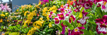 Colorful Orchids In A Botanical Garden, Singapore. With Selective Focus.