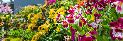 Autocollant pour porte Orchidée Colorful orchids in a botanical garden, Singapore. With selective focus.