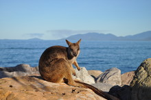 Allied Rock Wallaby, Petrogale...