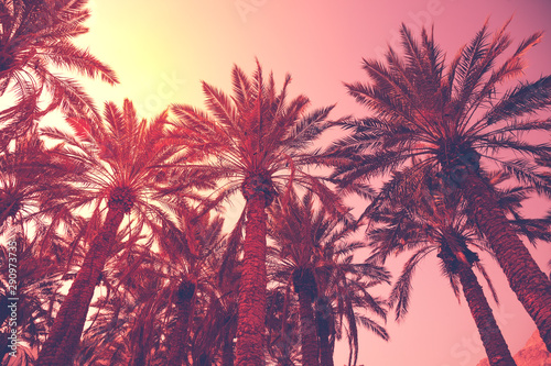 Rows of tropical palm trees against the sunset sky. Silhouette of tall palm trees. Tropical evening landscape. Natural landscape.