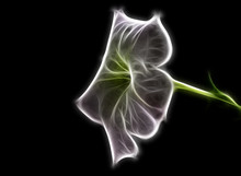 Fractal Image Of A White Garden Petunia Flower On A Contrasting Black Background