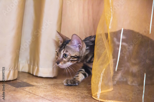 Photo A purebred Bengal cat with a beautiful coat of wool sits in ambush behind a curt