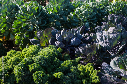 Kale and brussel sprout plants growing on autumn allotment Wallpaper Mural