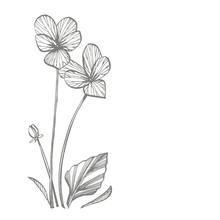 Pansy Or Daisy Flower. Botanical Illustration. Good For Cosmetics, Medicine, Treating, Aromatherapy, Nursing, Package Design, Field Bouquet. Hand Drawn Wild Hay Flowers