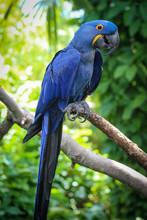 Hyacinth Macaw Portrait