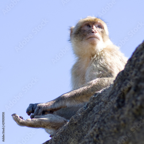 Photo  Macaque de Barbarie - 13
