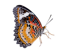 Monarch Or Leopard Lacewing Butterfly