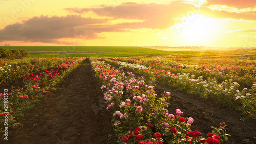 Foto op Canvas Zwavel geel Bushes with beautiful roses outdoors on sunny day