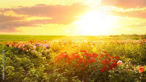 Foto auf AluDibond Orange Bushes with beautiful roses outdoors on sunny day