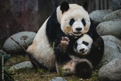 Garden Poster Panda Giant Panda