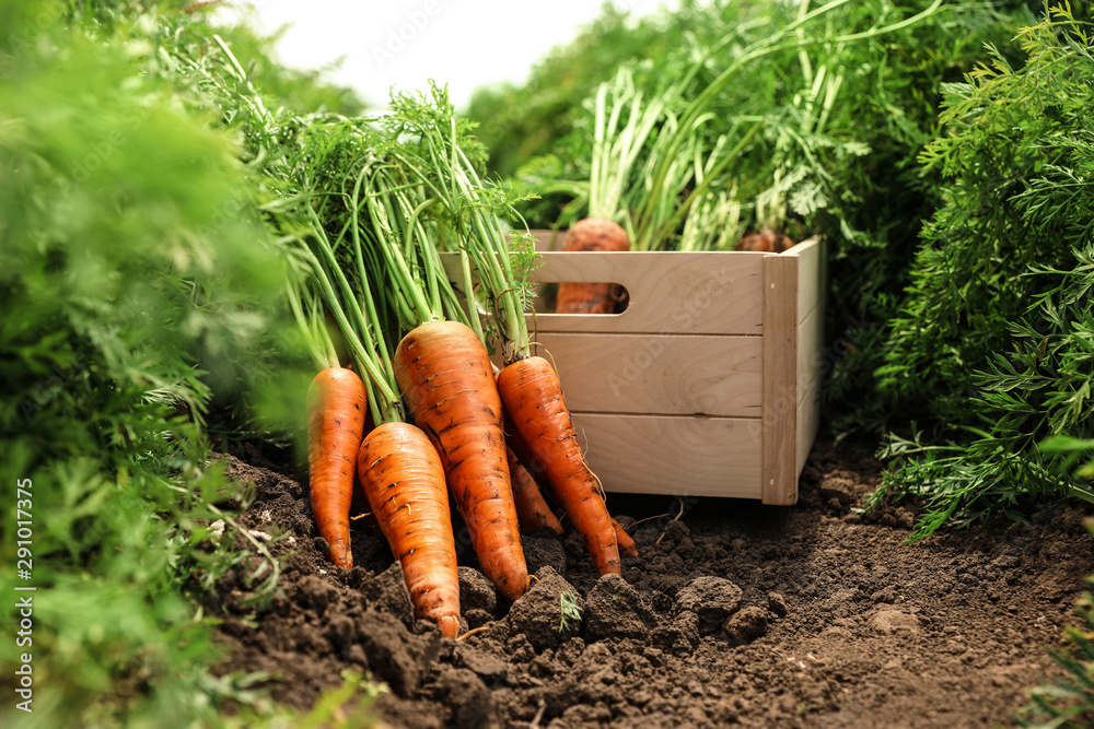 Fototapety, obrazy: Wooden crate of fresh ripe carrots on field. Organic farming
