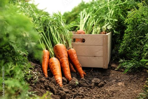 Obraz na plátně Wooden crate of fresh ripe carrots on field. Organic farming