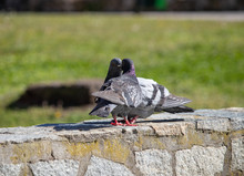 Two Pigeons Kiss And Love In S...