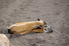 Red River Hog (Potamochoerus Porcus) Lying On The Ground