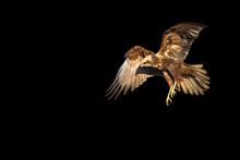 Flying Bird Of Prey. Isolated ...
