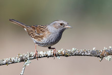 Dunnock (Prunella Modularis) Perched On Its Perch On A Blurred Background. Spain