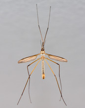 Crane Fly Or Tipula Or Daddy-L...