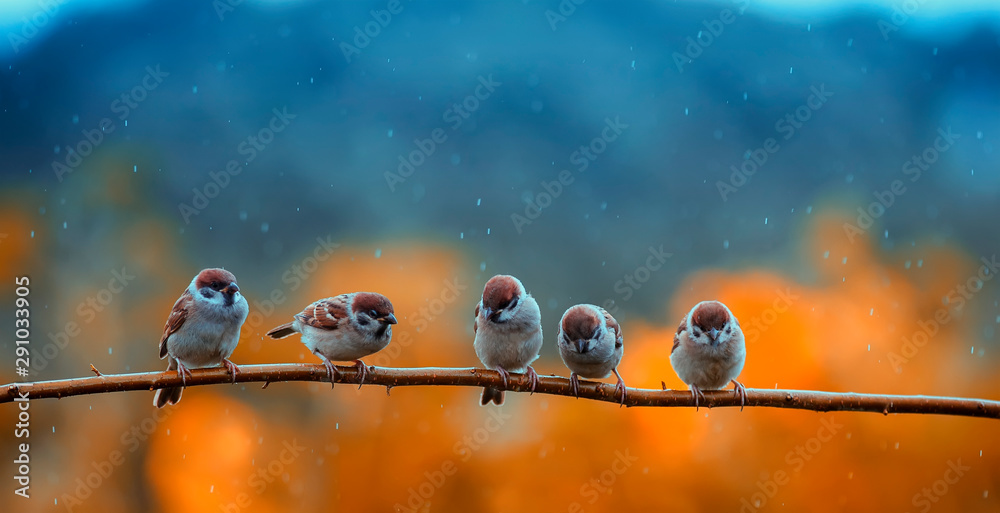 Fototapety, obrazy: funny many little birds sparrows sitting on a branch in a bright autumn Park under the cold rain