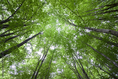 plakat Otzarreta beech forest in Spain.