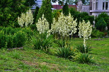 White Flowers Of Yucca Plant