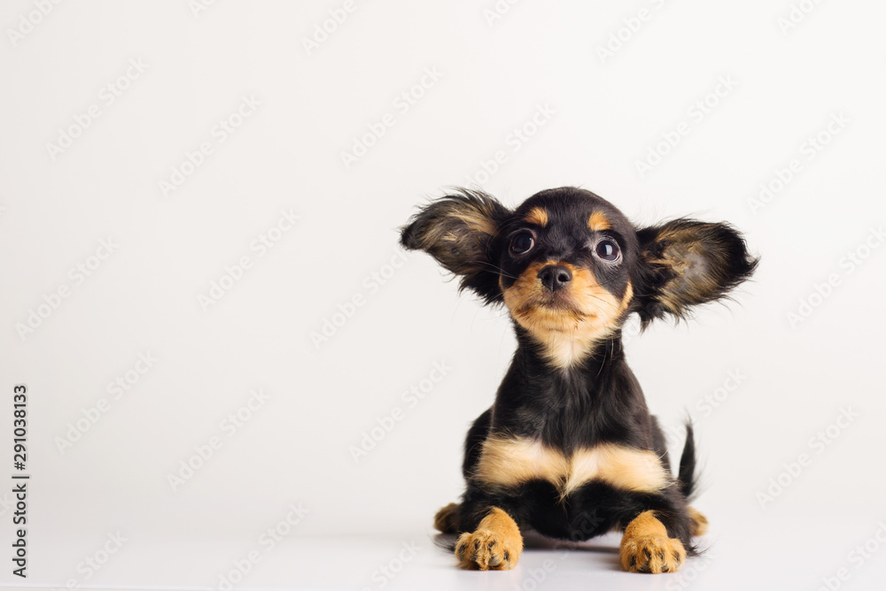 Fototapety, obrazy: Funny young puppy of Russian toy terrier on a white background.
