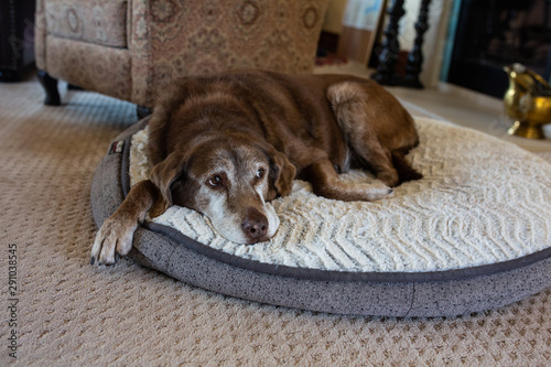 Old dog sleeping on dog bed in family living room