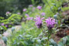 Purple Horsemint Wild Flowers;...