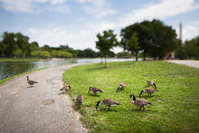 A Tilt Shift View Of Geese On ...