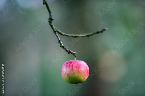 Fototapeta Czerwone jabłko wiszące na gałęzi obraz