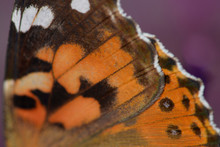 Close-up Photograph Of A Painted Lady Butterfly Wing.