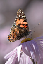 The Underside Of Painted Lady Butterfly's Semi-transparent Wing.