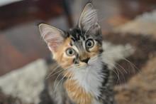 Domestic Pedigree Maine Coon Cat.