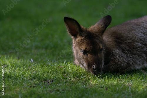 Wallaby de bennett sobre la hierba Fotobehang